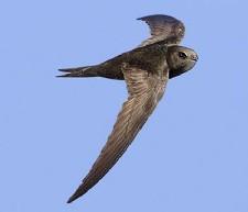 vencejo-ave