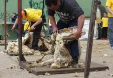Riaza acoge una nueva edición de la Feria del Esquileo con demostraciones en vivo