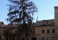 Vecinos de Conde Alpuente preocupados por el estado de uno de los pinos de la plaza